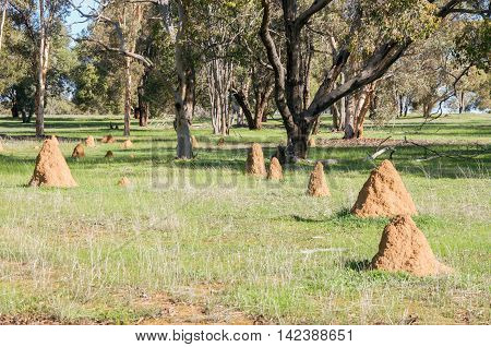 Termite mounds in rural Western Australian farmland landscape with green grass and trees.