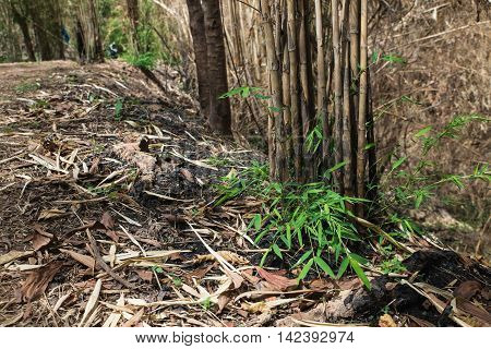 The Burnt Bamboo In The Forest After Wildfire