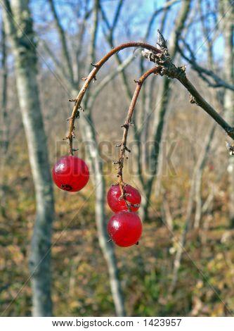 Wild Redcurrant