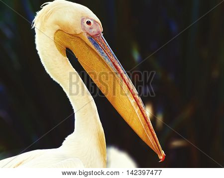 A beautiful pelican on a blurred background and illuminated by the sun rays