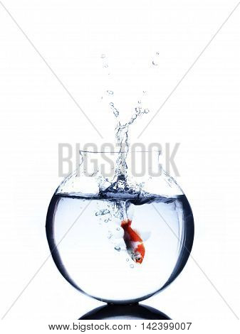 goldfish jumping into a bowl iin blue water isolated on white background