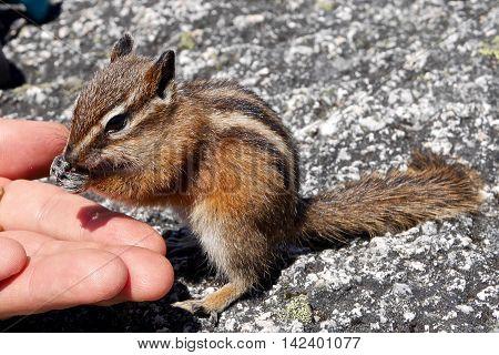 Chipmunk eating form human hand. Garibaldi Provincial Park British Columbia Canada.