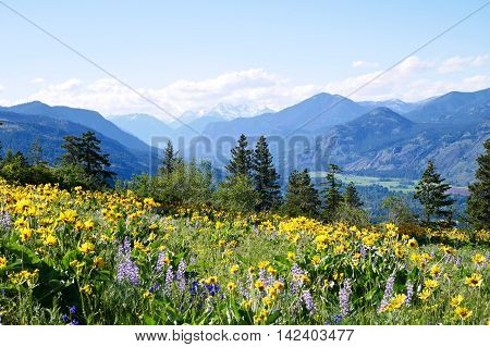 Wild flowers and mountains. Balsam Root and Lupines blooming on Patterson Mountain near Winthrop North Cascades National Park Washington State USA.