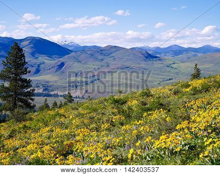 Meadows with yellow flowers and mountains. Balsam root blooming in Patterson Mountain near Winthrop Washington USA.