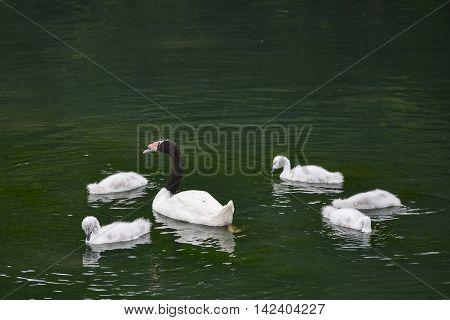 Black necked female swan cygnus melanocoryphus with her young cygnets