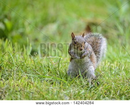 Portrait Of Cute Grey Squirrel Sciurus Carolininsis Satnding On Grass
