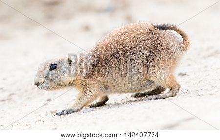 Black-tailed Prairie Dog In It's Natural Habitat