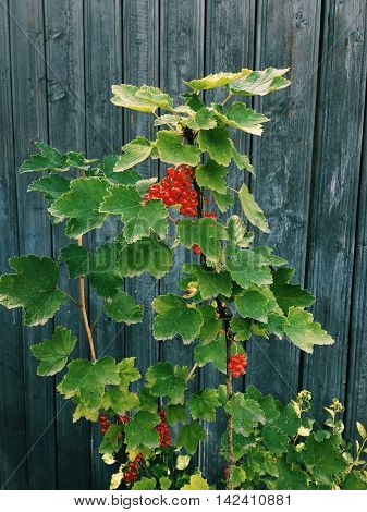 near the blue wooden fence bush of red currants