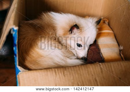 The Small Size Mongrel Mixed Breed Long-Haired White And Red Adult Dog With Prick-Ears Lying Curled Up On Underlay In Cardboard Box