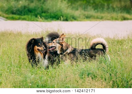 Shetland Sheepdog, Sheltie, Collie Play With Mixed Breed Medium Size Three Legged Dog Outdoor In Summer Grass. Running Happy Dogs
