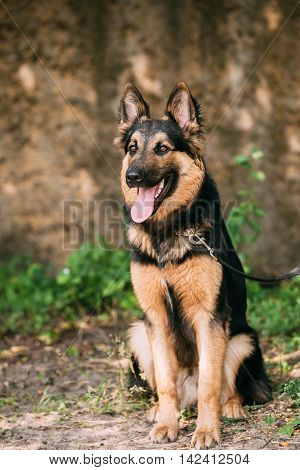 The Staring Medium Size Mongrel Mixed Breed Long-Haired Black And Red Adult Dog With Prick-Ears, Opened Jaws, Sitting On Sand.