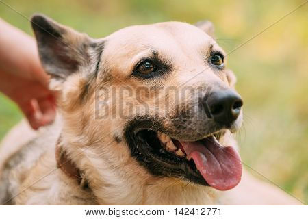 Close Up Of Medium Size Mongrel Mixed Breed Short-Haired Yellow Adult Female Dog With Tongue In Collar On Green Grass Background