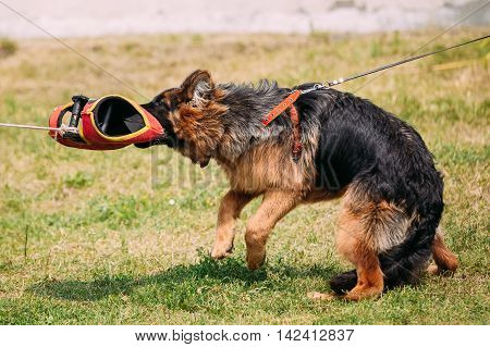 The Scene Of Training Of Spite Malice From Purebred Long-Haired German Shepherd Adult Dog Or Alsatian Wolf Dog. Attack And Strong Grasp To Training Glove.