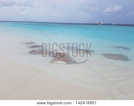 Stingrays on the beach of Maldives Islands