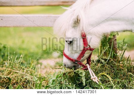 Nice White Pony Is Eating Hay, Grass. Close Up Side View Of The Head, Muzzle Of Nag In Red Bridle.