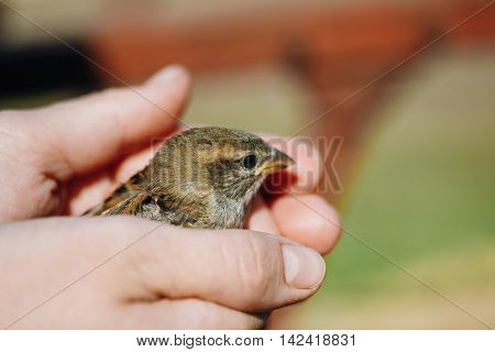 Young Bird Nestling House Sparrow - Passer Domesticus - Chick In Female Hands.