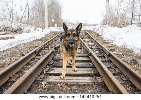 German Shepherd Dog On The Railway Road