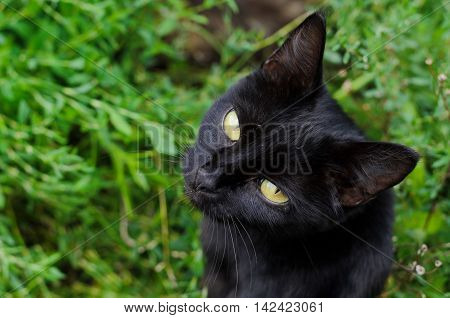 Black witch cat with yellow eyes on background of green grass view from above
