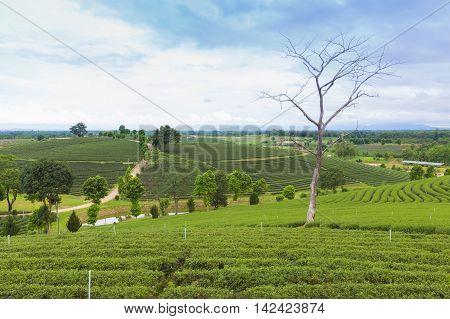 Green tea plantation over mountain hill, natural landscape