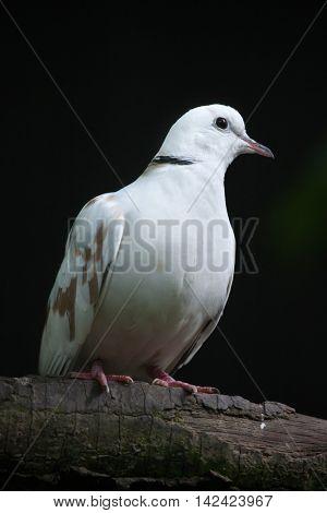 Spotted dove (Spilopelia chinensis chinensis). Wildlife bird.