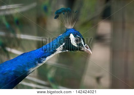 Indian peafowl (Pavo cristatus), also known as the blue peafowl. Wildlife bird.