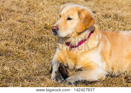 Golden retriever dog laying on dry glass field