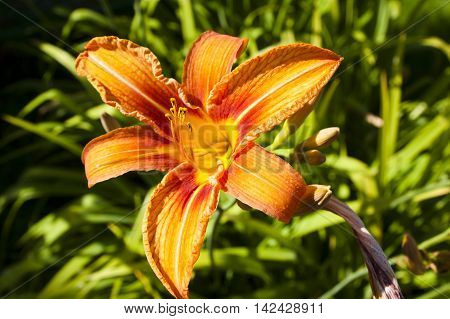 Orange daylily on a background of green leaves