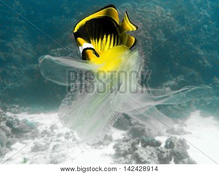 Butterfly-fish eating a jellyfish in tropical sea.