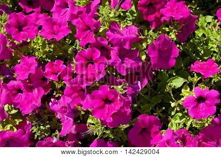 Flowerbed With Pink Petunia