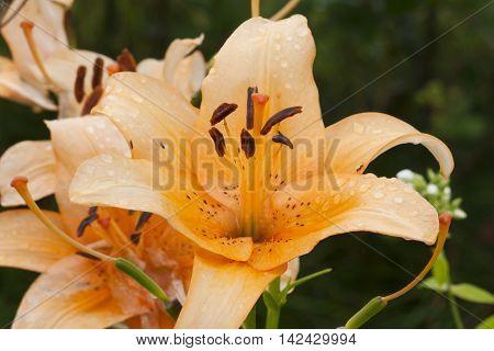 Orange Lily Flower Close-up