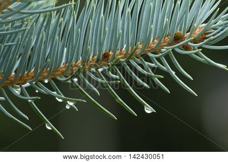 Branches Of Blue Spruce In Large, Close-up