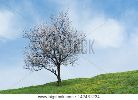 Ukrainian landscape with lonely apricot tree at flowering time