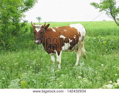 Brown And White Cow In Summer Green Pasture Meadow
