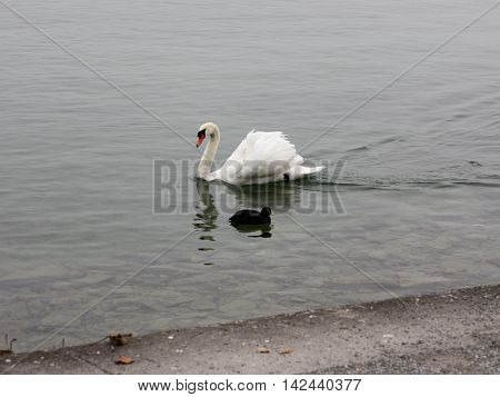 Lonely white swan landing to the cold lake