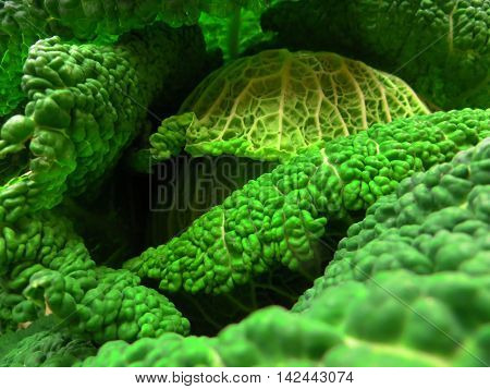 The leaves of a Savoy cabbage forming fantastic illusion of a cave