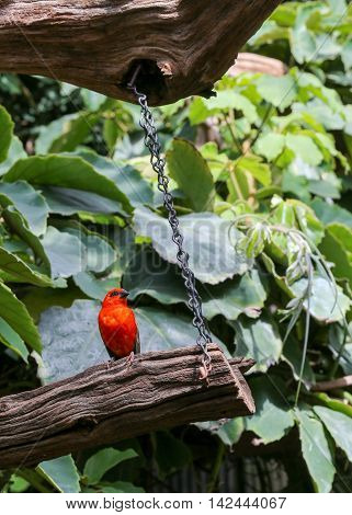 Madagascar Red Fody, Cardinal Bird In A Zoo