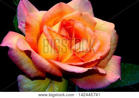 a close up of a beautiful rose