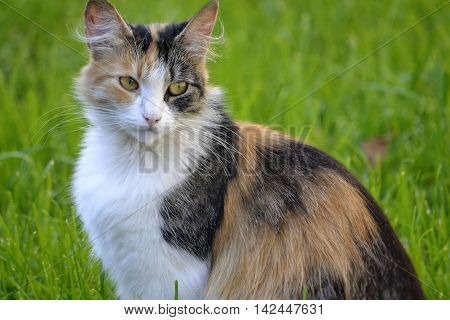 fluffy three-colored cat sits quietly and looks at the background of green grass
