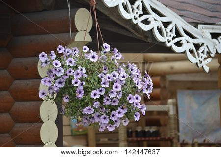 hanging pots of flowers petunias pale lilac color on a background of a wooden frame with carved eaves