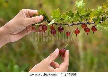 hands picking ripe red berries of gooseberry in the garden