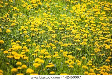 Dandilon Meadow