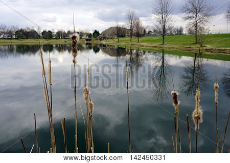 The heads of common cattails (Typha latifolia) on a small, man-made lake in Joliet, Illinois.