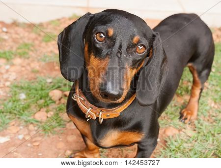 Portrait of a black dachshund dog with an expressive eyes expressions.