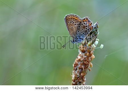 Beautiful Little Butterfly Common Blue (polyommatus Icarus). Macro Shot Of Nature Close Up.