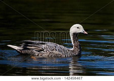 Emperor goose (Chen canagica) swimming in water in its habitat