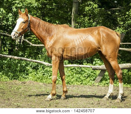 red horse with light mane and tail stands on the ground in the paddock near the wooden fence