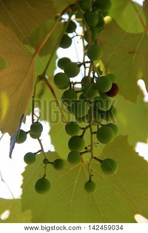 Warm color in underside of large leaves and ripening green grapes