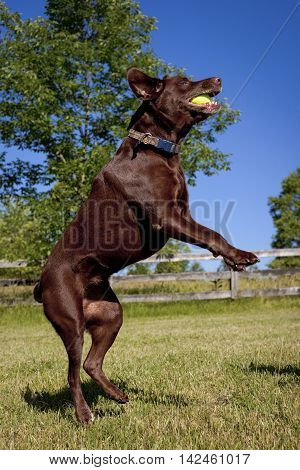 Energetic, active chocolate Lab on hind legs facing right after just catching green tennis ball in mouth in pretty landscape