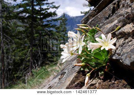 White wild flowers Lewisia. Fourth of July Trail near Leavenworth and Seattle Washington state USA.