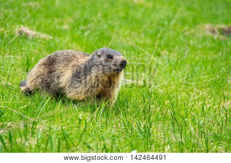 Marmot on the of mountain of National park Ecrins in France